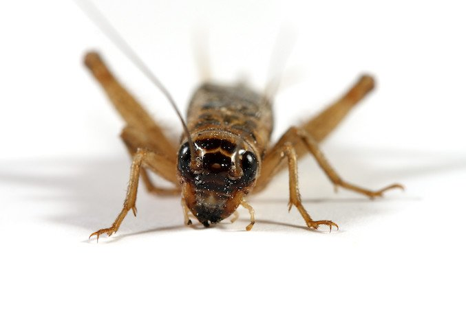 How to get rid of crickets in home