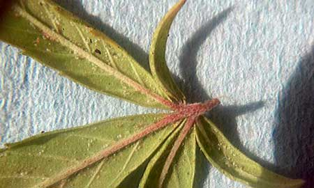 How to get rid of spider mites on weed