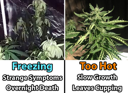 Marijuana vegetative