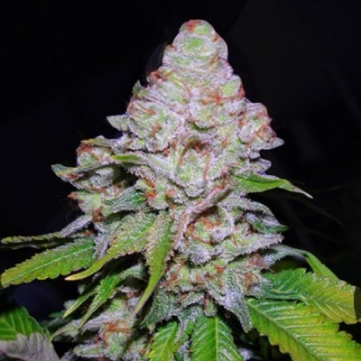 Blueberry flame strain