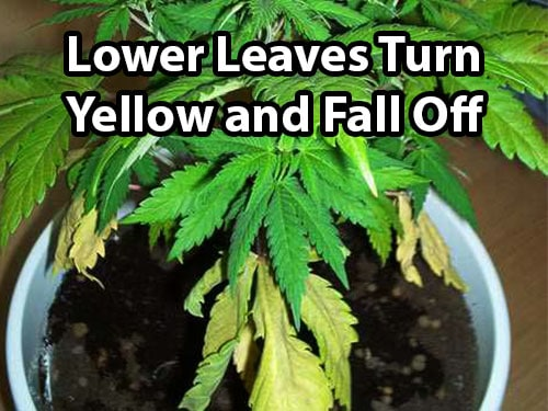 Why do weed leaves turn yellow