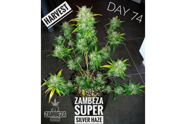 Super silver haze pictures