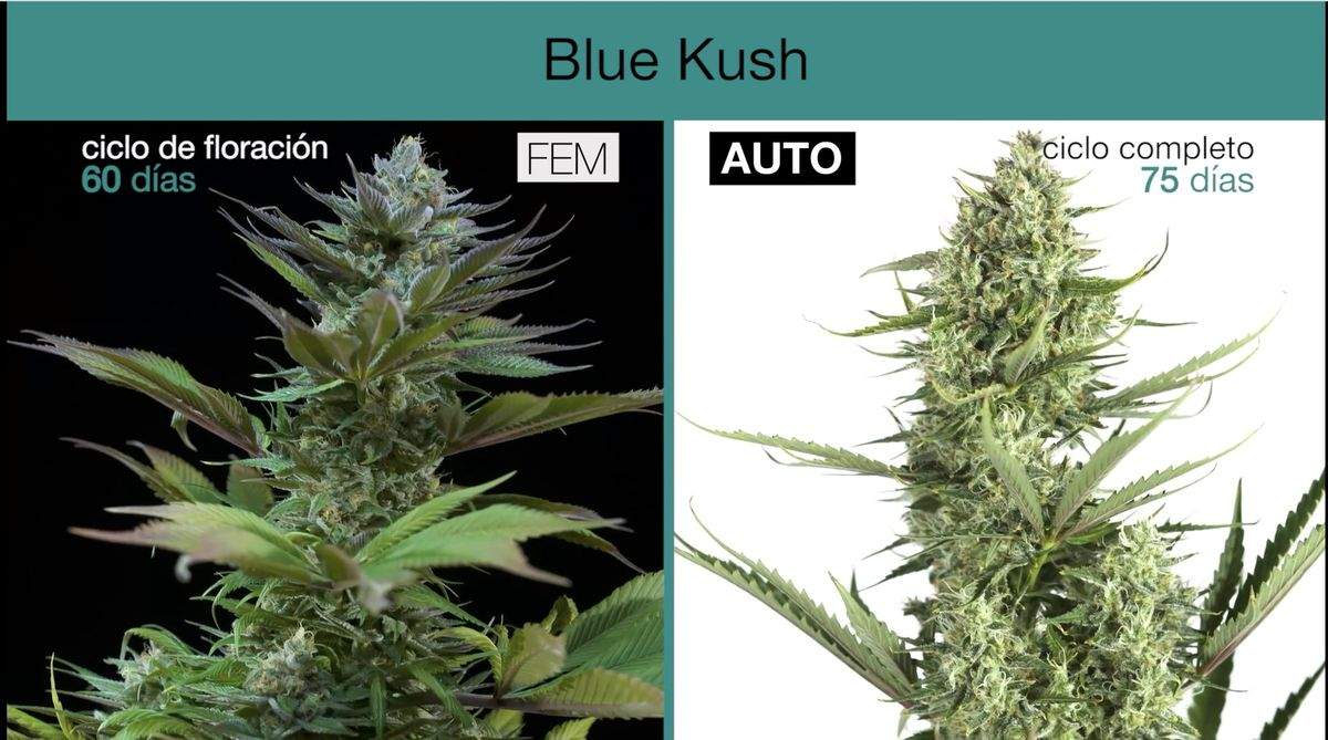 Difference between autoflowering and feminized