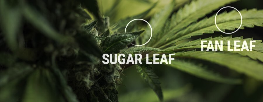 Sugar leaves
