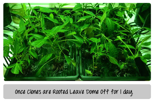Humidity for clones
