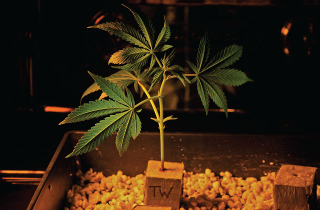 Cloning solution for cannabis