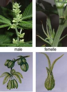 Male marijuana plant images
