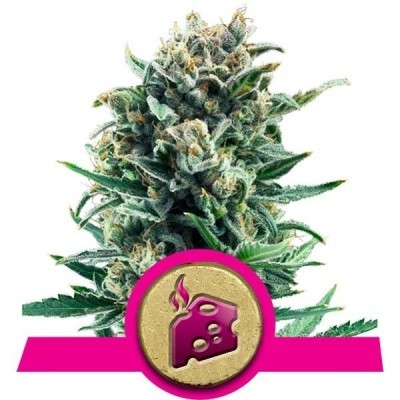 Weed strains cheese