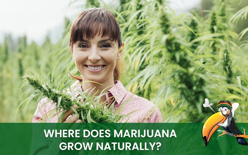 Where does cannabis grow naturally