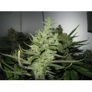 White queen weed