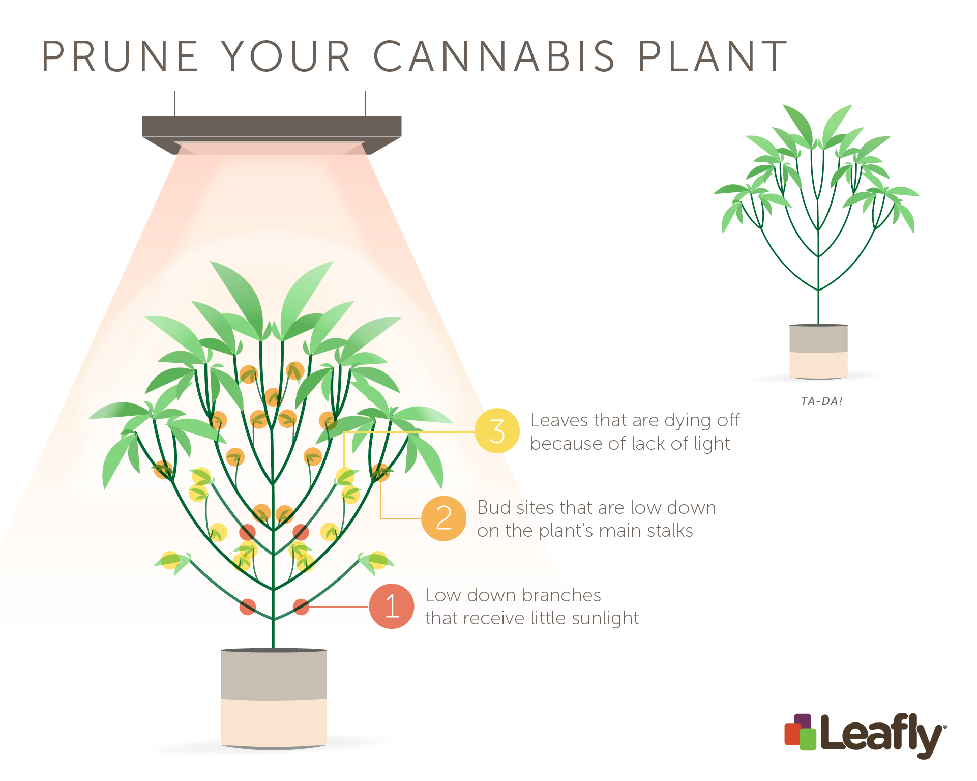 How to prune cannabis plants in flower