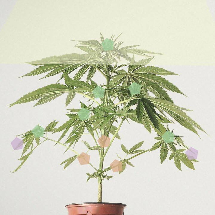 How much does a marijuana plant yield