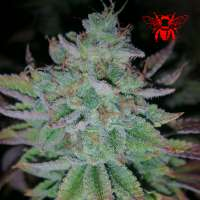 Space ghost strain
