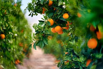 How to plant tangerine seeds