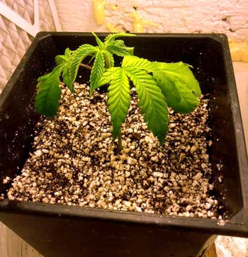 Drooping cannabis leaves