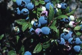 Blueberries from seed