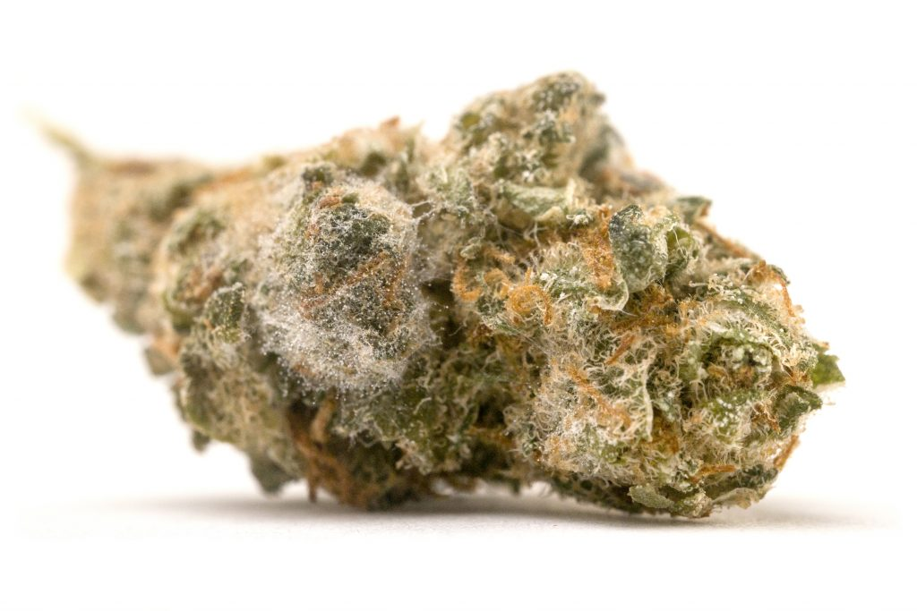 Mold on curing buds