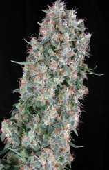 Dr greenthumb strain review