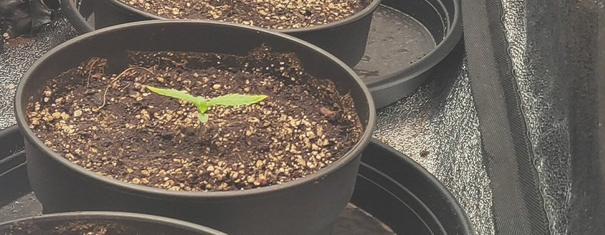 One month old cannabis plant