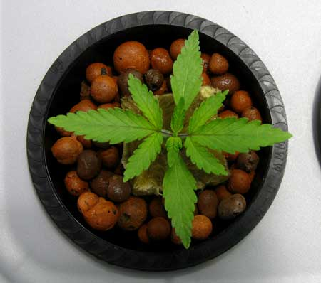 Cannabis sprouts