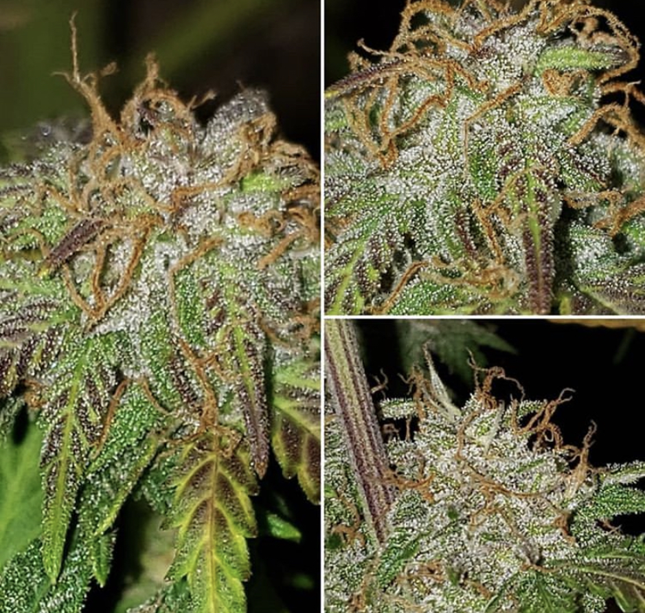Barneys seeds review