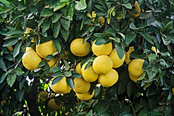 Grow grapefruit from seed