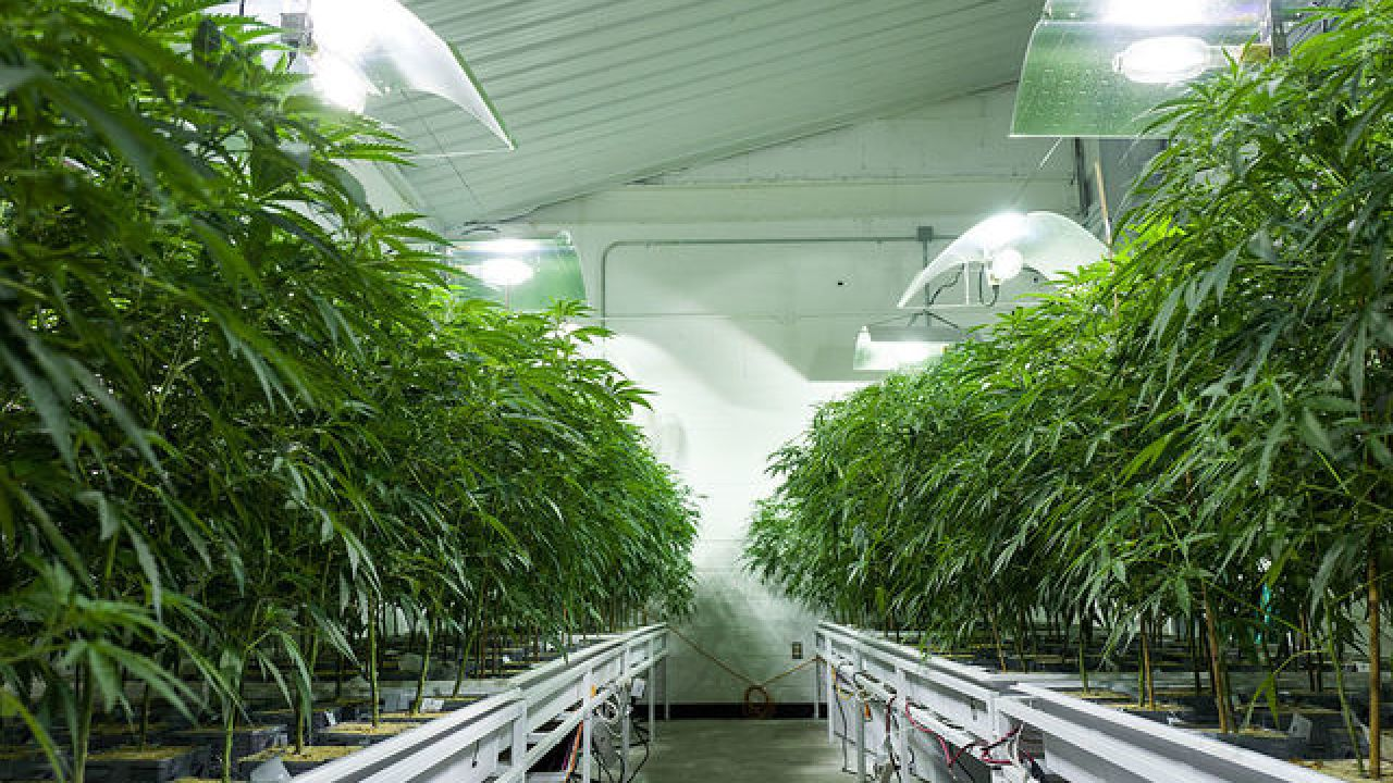 How many weed plants can you grow in colorado