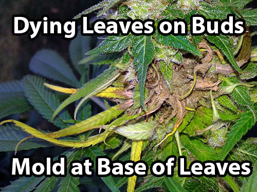How to prevent bud rot